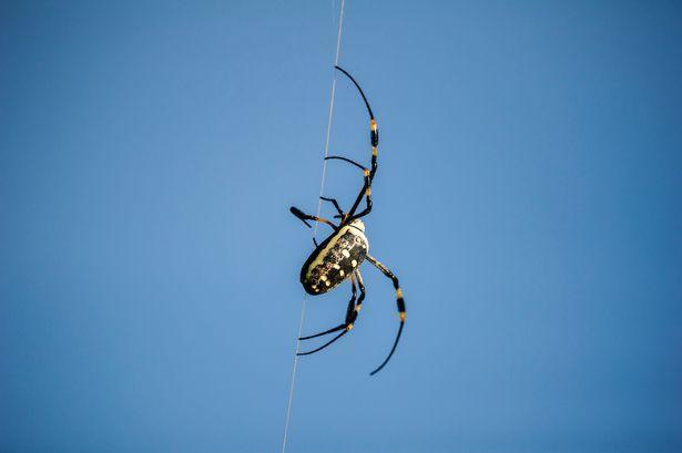 Banana-spider (1).jpg