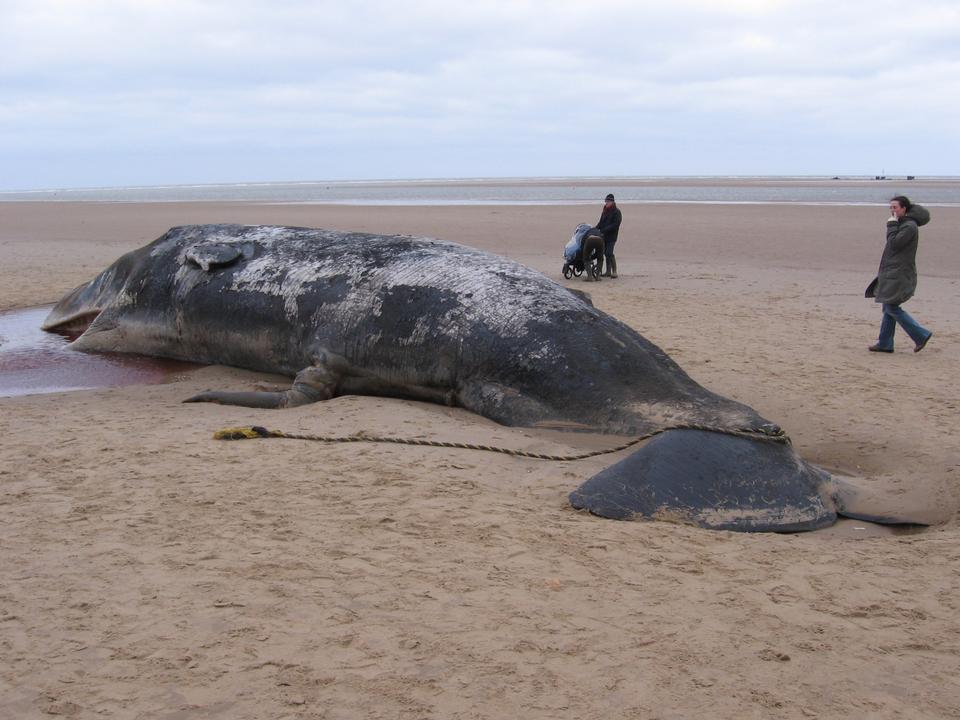 Beached-sperm-whale-Norfolk-0402140407B5C879.jpg