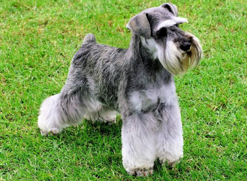 beautiful-miniature-schnauzer-with-short-tail-on-grass_1475679002593.jpg