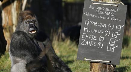 london-zoos-escaped-silverback-gorilla-kumbuka-found-136410529990410401-161013220032.jpg