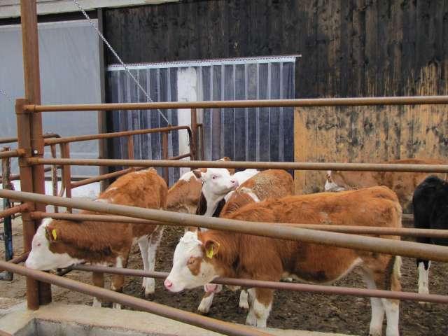 Termofüggöny az állattartásban