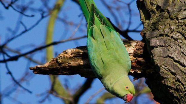 The rose-ringed parakeet can compete with native birds for food and nest sites.jpg